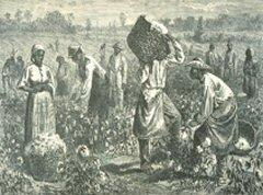 Récolte de coton, Mississipi, Sud des Etats unis, 1870.