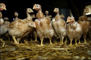 Le 25 janvier 2006 à Tartas, un élevage de poulets labelisé «label Rouge»